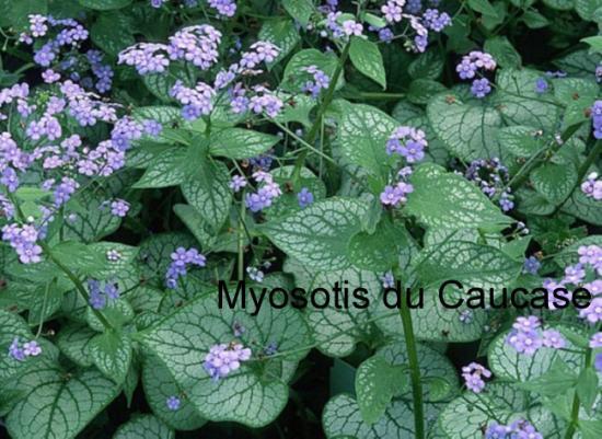 myosotis du causase