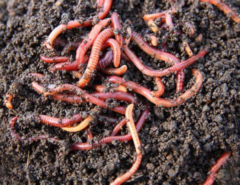 Eisenia foetida ou ver de compost