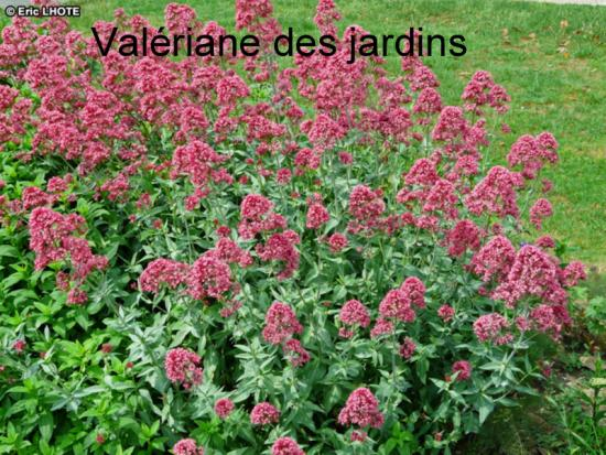 valériane des jardins