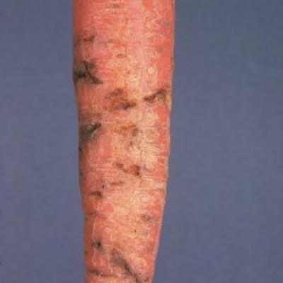 mouche de la carotte - dégats